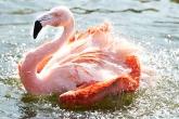 Flamingo spürt Frühlingserwachen